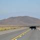 Cow crossing the road in Salta, Argentina
