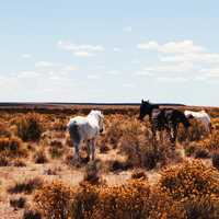 Horses in the grasses and shrubs of the Pampas in Argentina