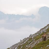Goat standing on the Mountains in Nationalpark Gesaeuse Austria