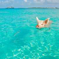 Pig swimming in the tropical waters in the Bahamas