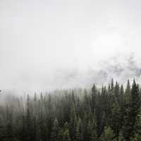 Pine Forest with trees and fog in Banff National Park