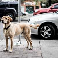Dog Standing on Sidewalk in Calgary, Alberta, Canada