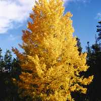Aspen Trees in Yellow in Jasper National Park, Alberta, Canada
