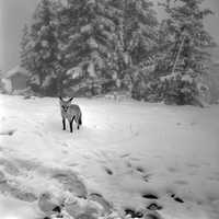 Fox in a snowstorm in Jasper National Park, Alberta, Canada