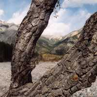 Tree and Branches in Jasper National Park, Alberta, Canada