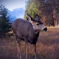 Young Deer Wildlife in Jasper National Park, Alberta, Canada