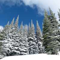Winter Pine Forest in British Columbia, Canada
