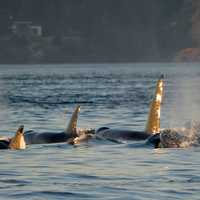 Killer Whales swimming in a pod in Victoria, British Columbia, Canada