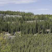 Rows of pine trees on the Ingraham Trail