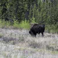 A Bison grazing at Mckenzie Bison Range