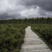 Boardwalk into the Bog at Algonquin  Provincial Park, Ontario