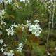 White Flowers at Lake Nipigon, Ontario, Canada