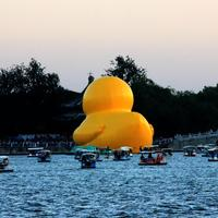 Large duck rear end on Lake in Beijing, China