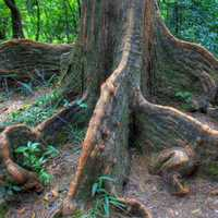 Indian Rubber Tree Roots in Hong Kong, China