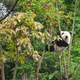 Panda in the trees at Chengdu Panda Breeding center in Sichuan