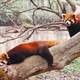 Red Pandas on a tree in Sichuan Panda research center in Chengdu, China