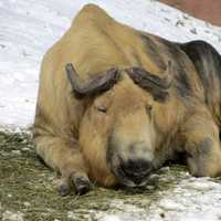 Resting Sichuan Takin in China