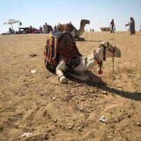 Camel in the Desert in Giza, Egypt