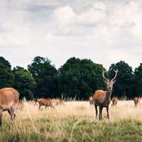 Deer in Richmond Park in London