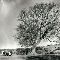 Black and White picture with tree and cows