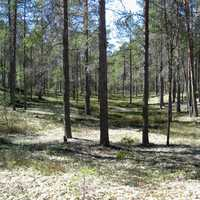 Typical forest in Hailuoto in Finland
