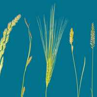 Cereal Grasses and Grains