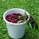 Cherries in a Cup