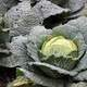 Savoy Cabbage in the ground