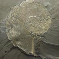Ammonite in Rock