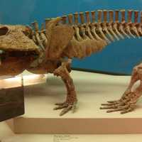 Fossil of Eryops - an ancient creature