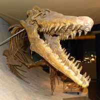 Mosasaur skeleton from the Cretaceous