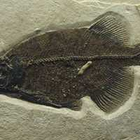 Phareodus SP.