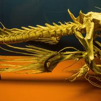 Skeleton of an Anglerfish