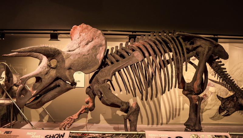 Dinosaurios-triceratops-restos-fosilizados