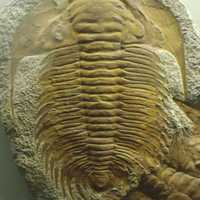 Trilobite from late Cambrian