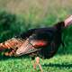 Wild turkey standing on the grass