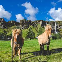 Icelandic Horses with waterfall in the background