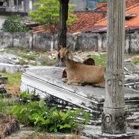Goat sitting in a cemetery in Surabaya, Indonesia