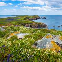 Flowers and coastline landscape in Saltee Island Great, Ireland