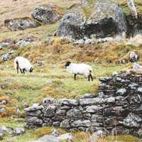 Landscape and livestock in Lough Dan, Ireland.