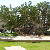 The old Sycamore tree in Netanya, Israel