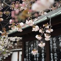 Spring blossoms at temple in Osaka, Japan