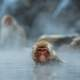 Monkey in a hot geyser in Yamanouchi, Japan