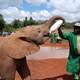 Feeding the Elephant in Nairobi, Kenya