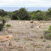 Lions on the Kenyan Grassland