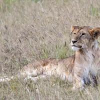 Lion resting in the grass in Kenya