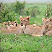 Pride of Lions in Kenya