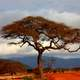 Trees in the landscape in Kenya on the Plains