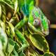 Chameleon blending into the leaves in Madagascar