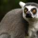 Lemur monkey, common in Madagascar